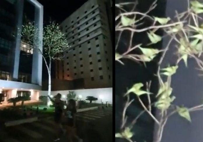 Árvore cheia de periquitos no MT - Foto: reprodução / Instagram