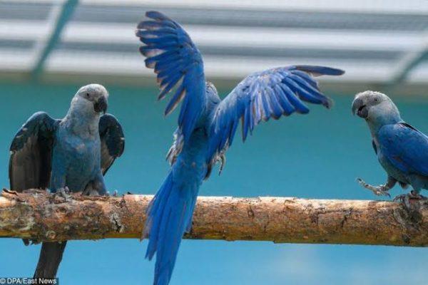 Araras-azuis cuidadas no instituto - Foto: divulgação