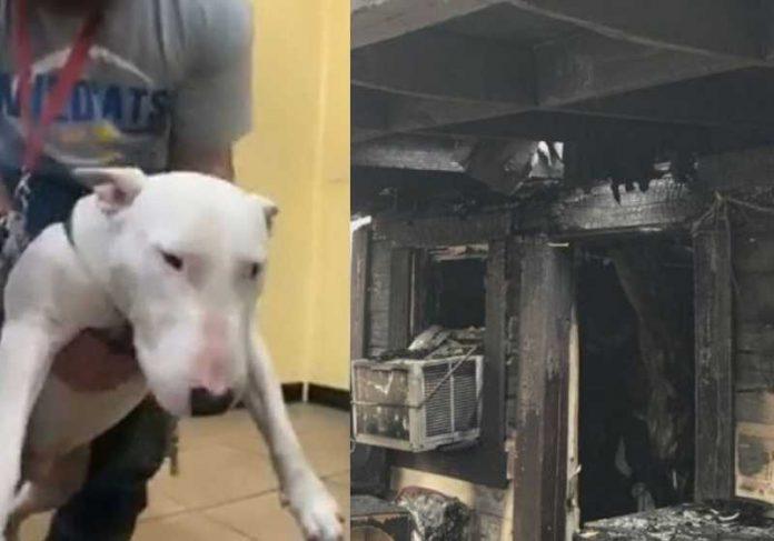 Pitbull terrier herói alertou dono sobre incêndio - Fotos: reprodução / NewsWeek