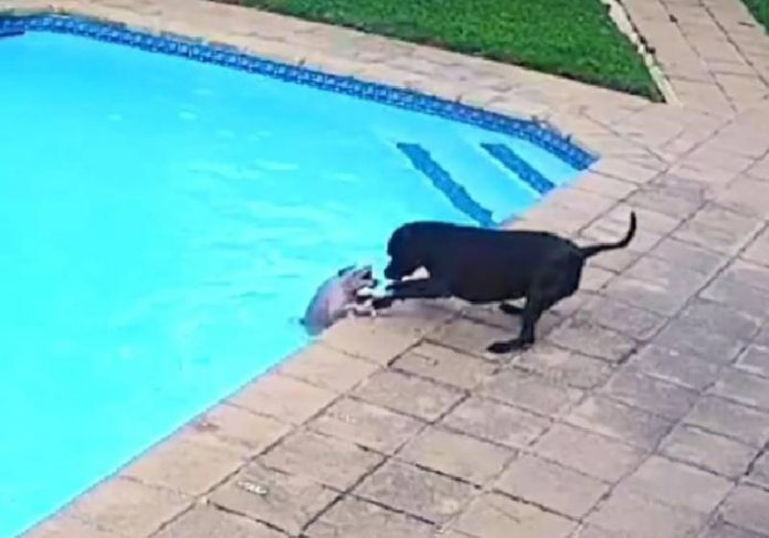 Jessie salvando Chucky que caiu na piscina - Foto: reprodução / Zenger / Youtube