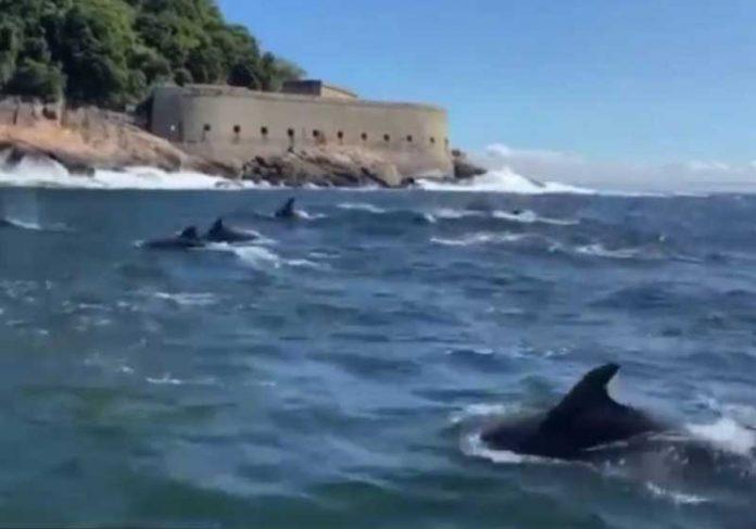 Golfinhos Nariz-de-Garrafa costumam nadar na costa nesta época do ano. - Foto: reprodução Twitter.