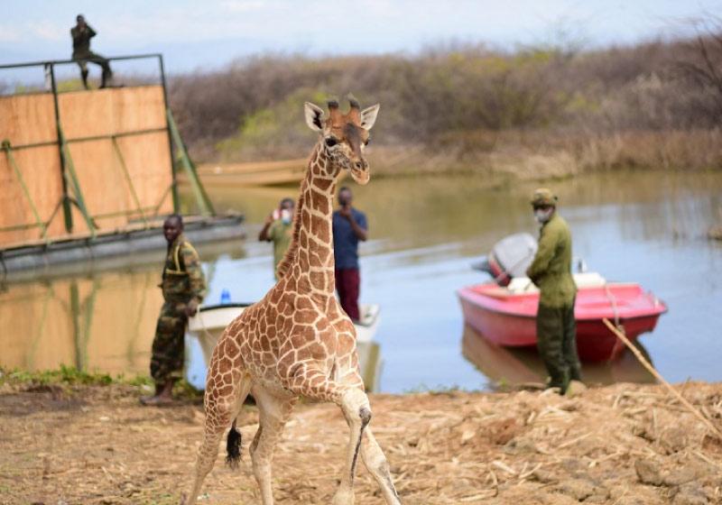 As girafas foram resgatadas e levadas para um novo santuário - Foto: ONG Northern Rangelands Trust