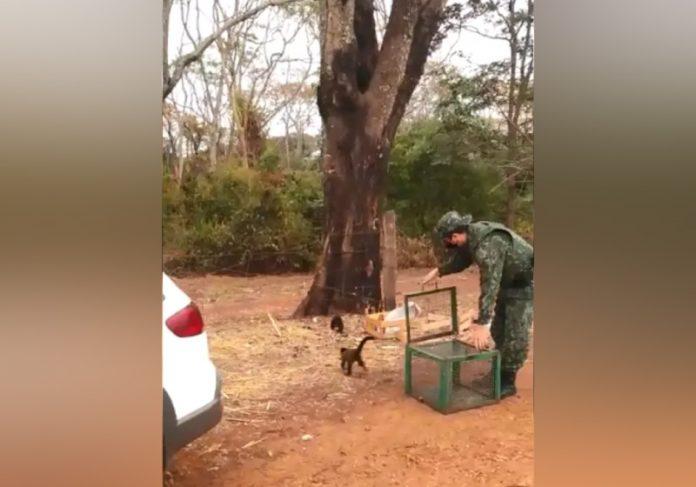 A soltura dos macacos-prego foi realizada pelos policiais militares entre as cidades de Itajobi e Olímpia - Foto: reprodução