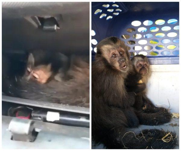 Macacos-prego resgatados. - Foto: Divulgação/Polícia Militar Ambiental