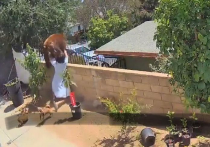 Hailey enfrenta um urso, que invadiu o quintal dela e salva os cães do ataque. - Foto: reprodução