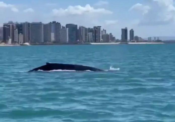 Uma baleia jubarte foi avistada neste sábado, na orla de Fortaleza - Foto: reprodução Instagram