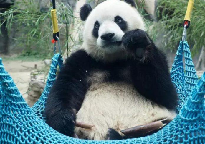 Panda gigante saiu da lista de animais ameaçados de extinção - Foto: Du Jianpo/VCG / Getty Images