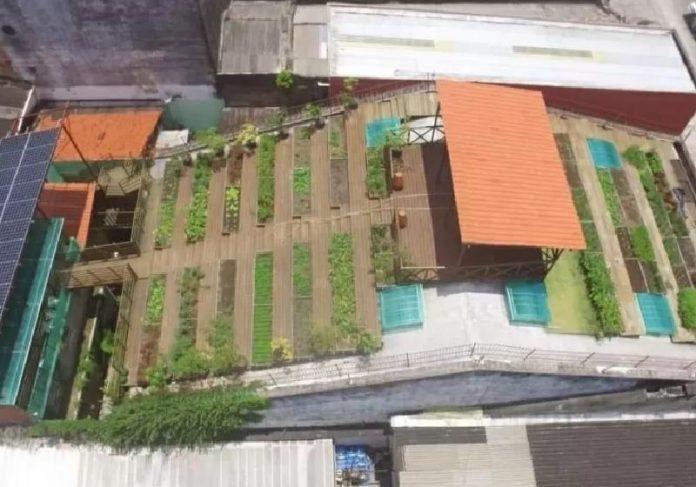 A horta no telhado do casarão no Recife, criada em 2016, mata a fome de 500 pessoas na pandemia - Foto: Agência JCMazella