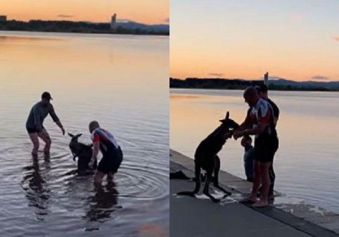 O canguru agradeceu com a patinha ao homem que o salvou no lago frio - Fotos: reprodução / David Boyd / Facebook