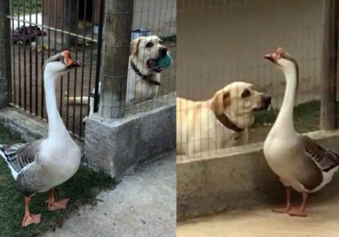 A amizade entre o cão cego Thor e o ganso tem chamado a atenção dos donos de um sítio, no ES - Fotos: reprodução
