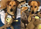 O cão caramelo entrou no hotel pedindo abrigo, mas ganhou também cama, roupas, carinho e brinquedos dos funcionários - Foto: Novotel Sorocaba