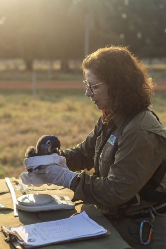 Neiva trabalha com araras-azuis há 30 anos - Foto: divulgação