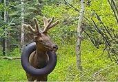 O pneu foi retirado após 2 anos preso no pescoço do veado - Foto: reprodução